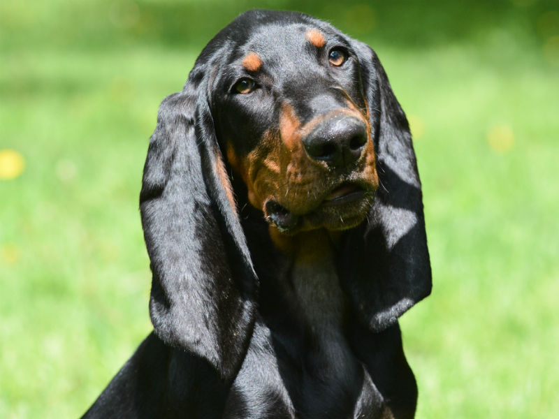 Image of a Black and Tan Hound Dog