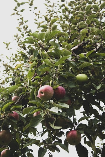 Showing apples on apple tree branch